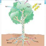 Vascular System in Plants